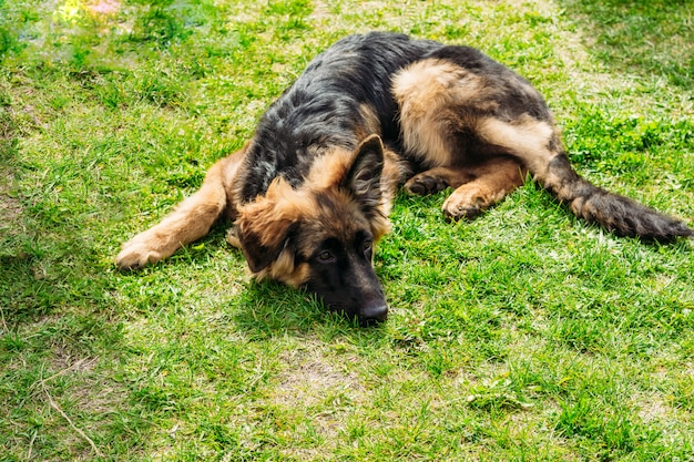 ジャーマン・シェパード犬は草の上にあります。
