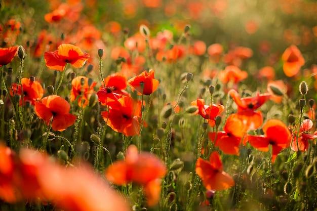 ケシ畑のクローズアップ、夕日に咲く野生の花。赤い緑の背景、空白、ソフトフォーカスの壁紙。