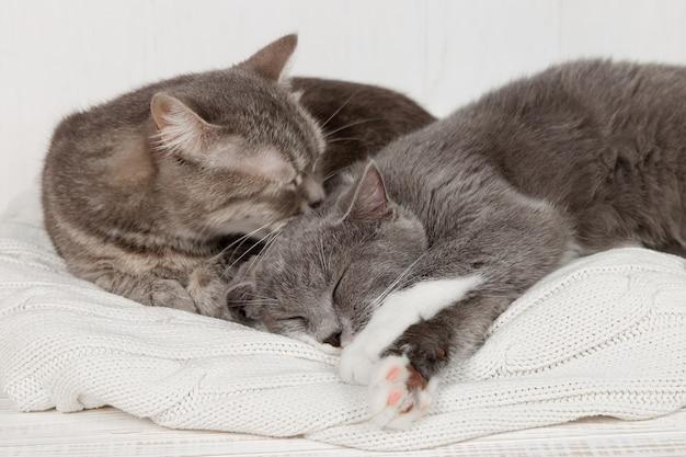 Две серые кошки спят вместе, обнимаются и заботятся. прояви нежность, ляг на мягкий белый вязаный свитер.