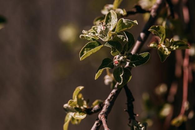 Весенняя ветка, молодые листья и почки