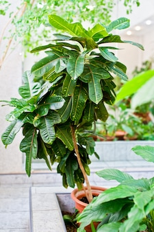Зеленое домашнее горшечное растение, домашняя оранжерея, зимний сад.