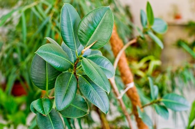 Домашнее растение в горшке. домашний декор и концепция дерева любителя.