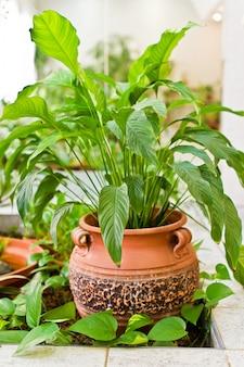 Зеленое клюквенное дерево, комнатное растение в горшке. домашний декор и концепция любителя деревьев