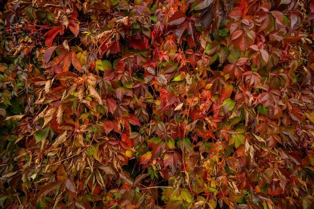 秋の黄色と赤の葉。美しい季節のテクスチャ。