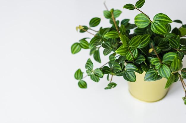 白い背景の上の金の鍋で多肉植物の自家製の植物。