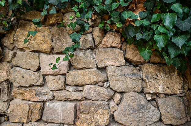 石の壁に緑のツタ。スペイン、バルセロナ。カタロニア