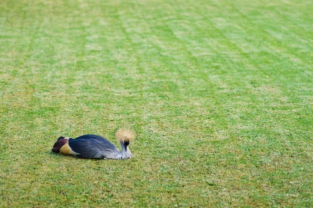 孔雀は緑の芝生の上に横たわっています。テキスト用のスペース。テネリフェ島のカナリア諸島。