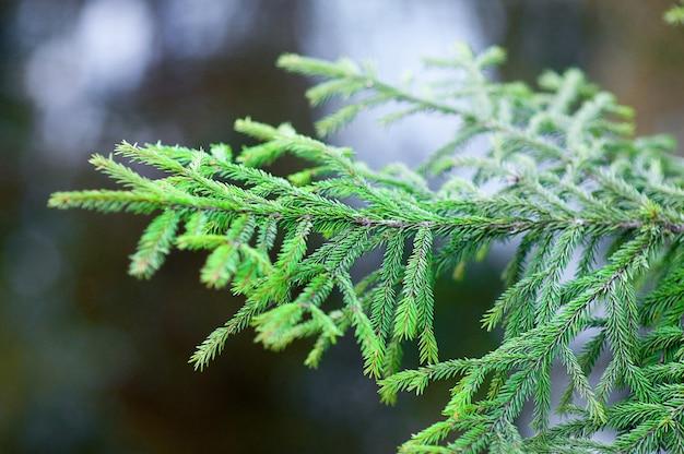 クリスマスツリーの枝の背景