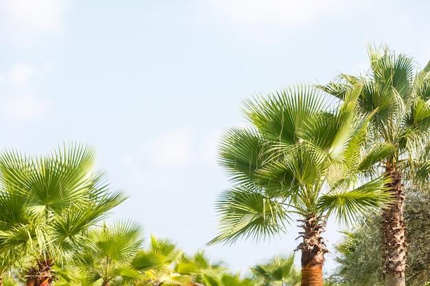 青い空を背景にヤシの木
