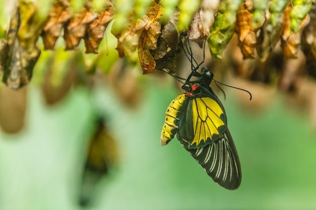 Новорожденная бабочка и зеленые коконы