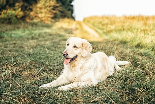 Золотистый ретривер лежал на траве в парке