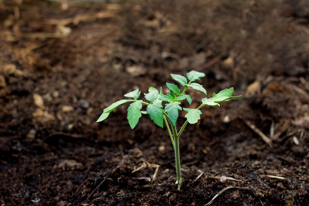 土壌中の若いトマト苗
