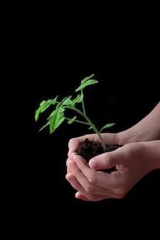 トマトの苗と土の山を保持している子供の手