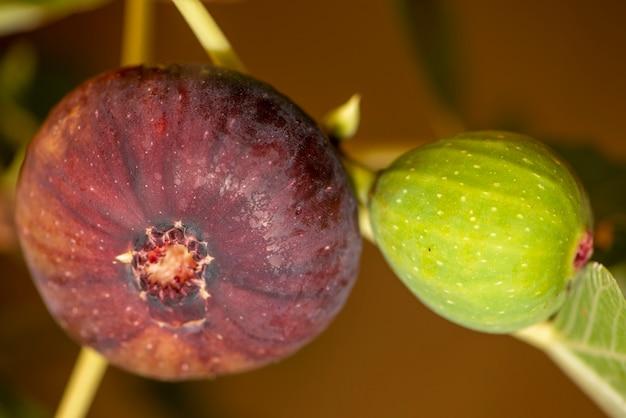 Фиговое дерево с двумя инжир
