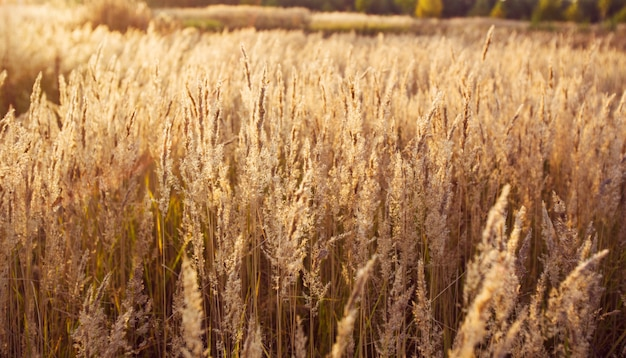 日没時の黄金の草