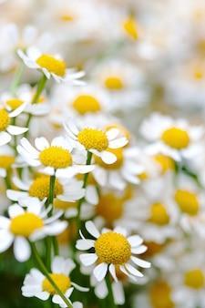 Цветы ромашки в макро. красота дикой ромашки крупным планом