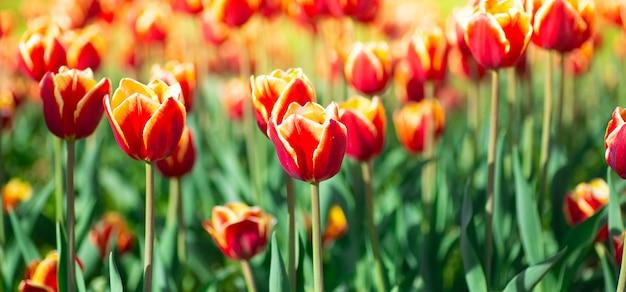 多くの赤いチューリップ。花と春のコンセプト