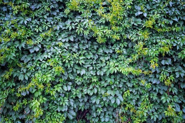 緑のツタ背景、新鮮な緑の葉の質感