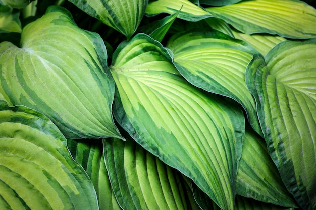 大きな緑の葉の背景。植物、葉、花のテクスチャとパターン。