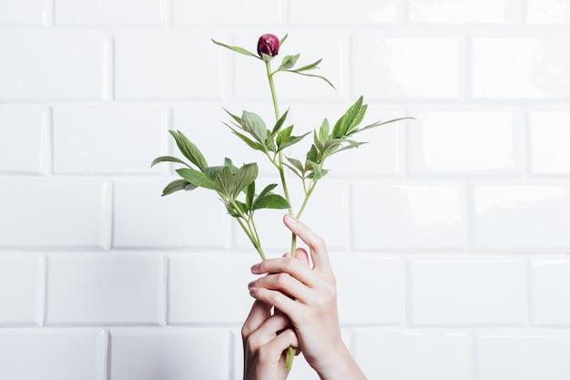 Женские руки держат цветок пиона