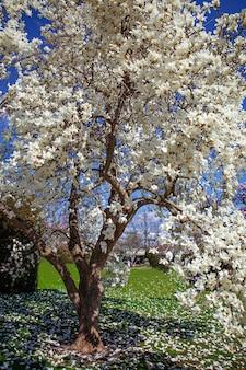 開花マグノリアチューリップツリー。