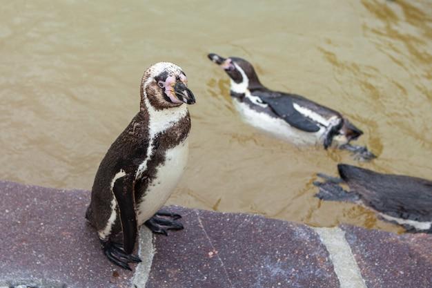 動物園の若いペンギン。ペンギンは石の上に立っています。