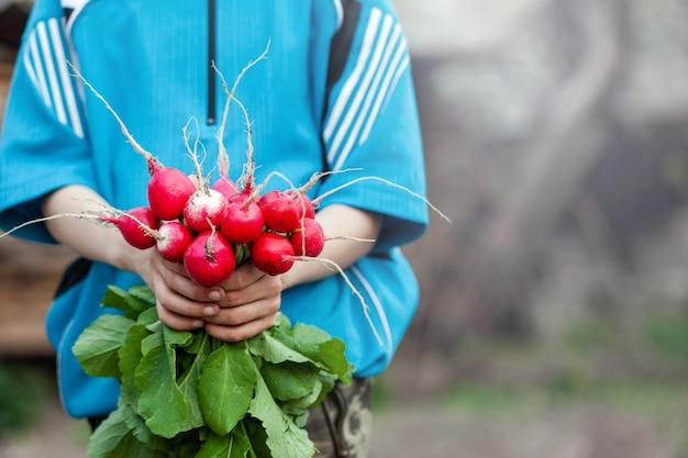 Свежий органический редис в руках ребенка. здоровая пища.