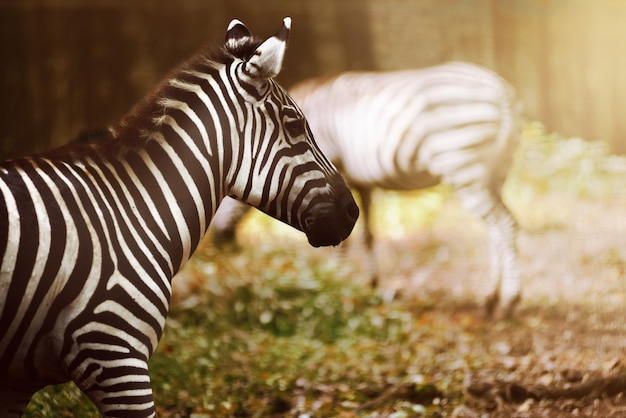 Две зебры на лугах
