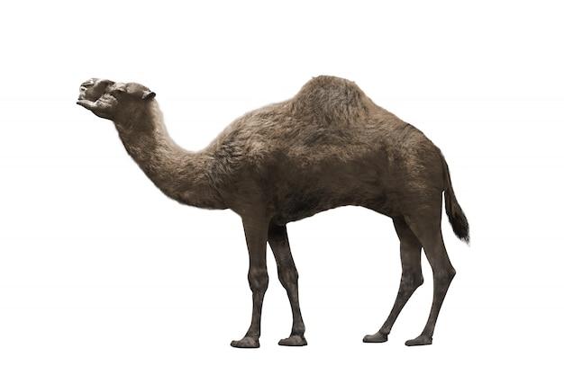 ラクダの画像