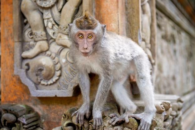 聖域でのバリ島の長い尾を持つ猿