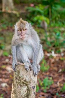 野生のバリの長い尾を持つ猿