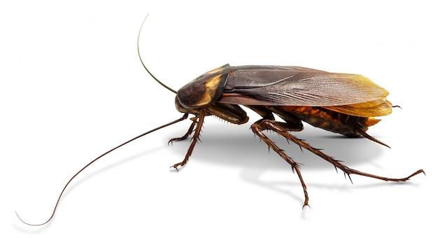 ゴキブリ、白で隔離