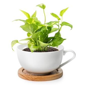 Комнатное растение в кофейной чашке