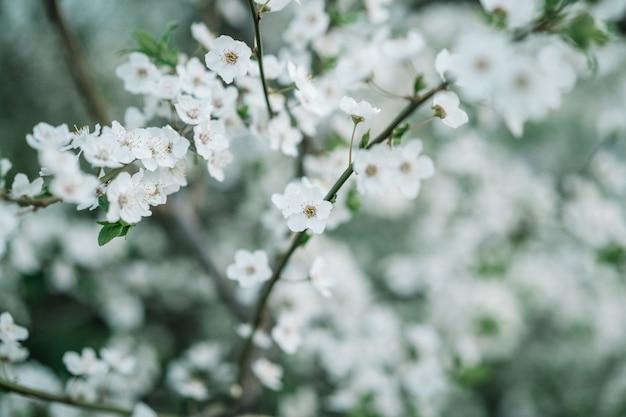 リンゴの花の背景。春の季節の花模様