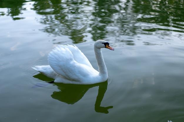 水面に白い白鳥。湖の水で泳ぐ野鳥