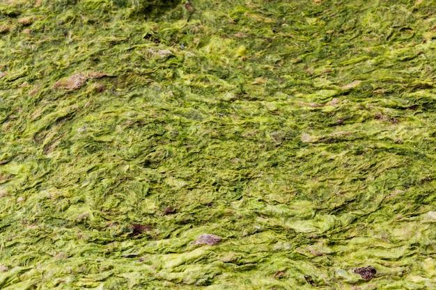 緑と黄色の海藻マクロの背景。