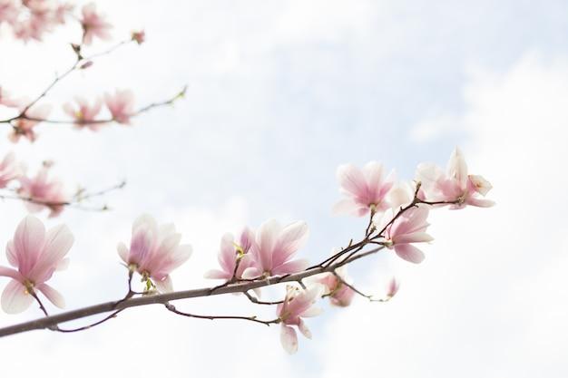 背景をぼかした写真と暖かい日差しのモクレンの木の花のクローズアップ