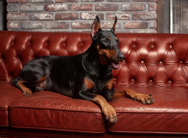 ドーベルマンピンシャー。茶色の背景に犬。犬は革のソファに横になっています。