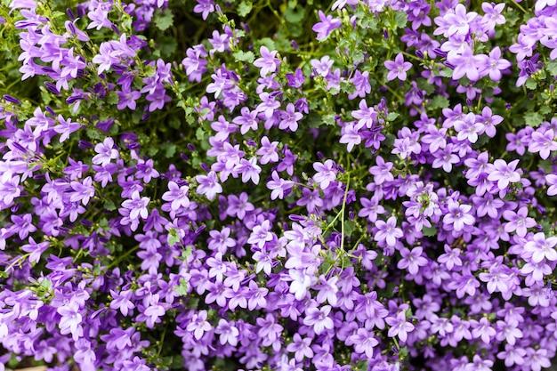 ピンクフロックススブラタ花の背景