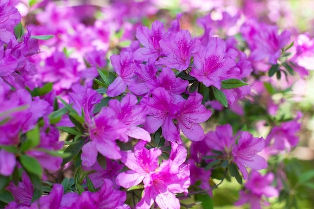 春に咲く新鮮なピンクのツツジの美しい花。側面図。明け。ソフト選択的フォーカス。横向き