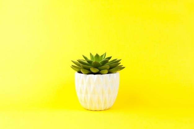 黄色の背景に白い植木鉢でトレンディなジューシーなハオルチア