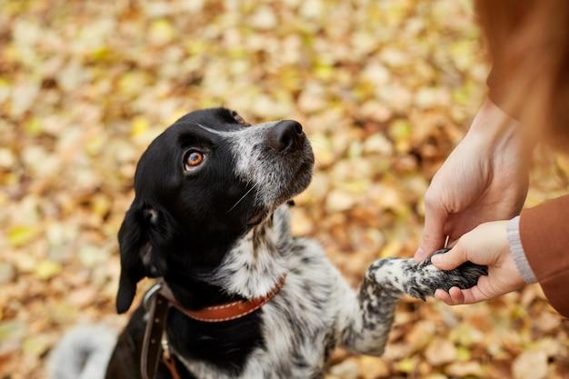 長い耳を持つスパニエル犬は秋の公園で散歩します。