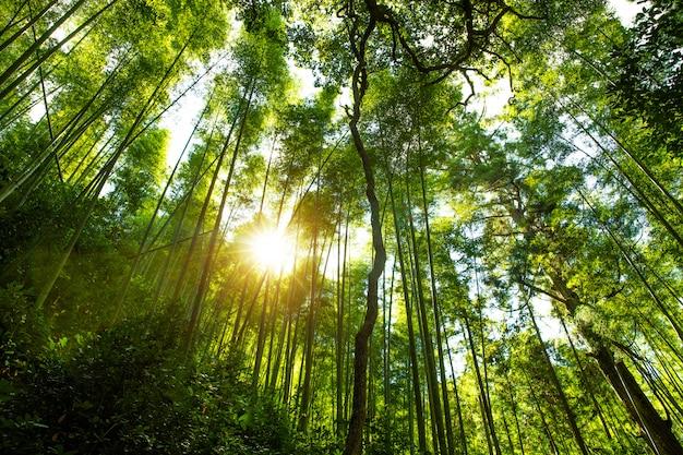 京都、日本の竹林で。
