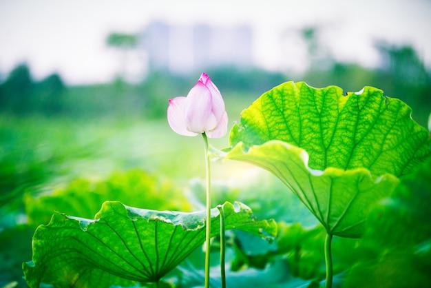 蓮の花のつぼみ蓮の葉、蓮の花と蓮の蕾と木。神奈川県横浜市の産経