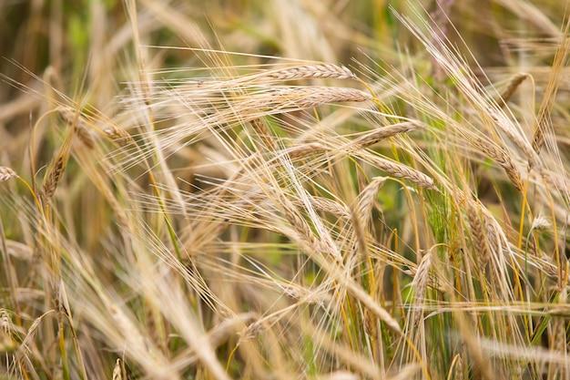 若い小麦は畑で育ちます。