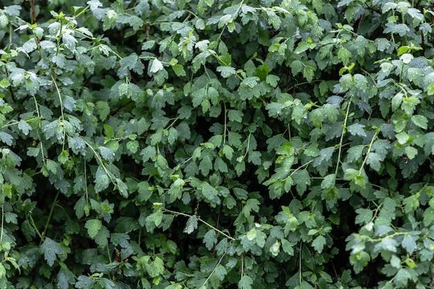 雨の中で大きな水滴のある明るい緑の葉の茂み。