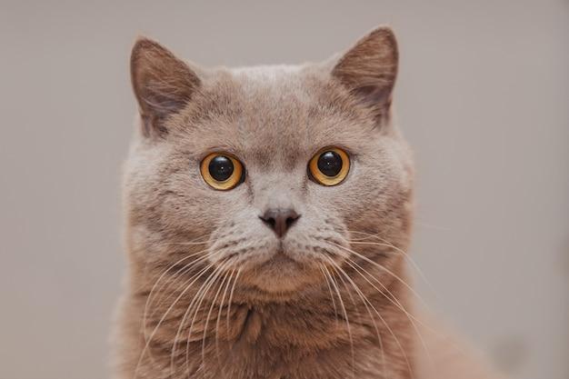 Серый британский кот с открытыми глазами