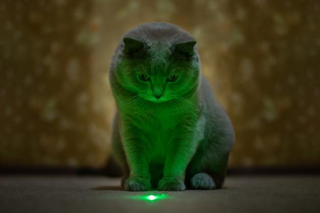 イギリスのライラック猫はレーザーポインターから緑の斑点を見て
