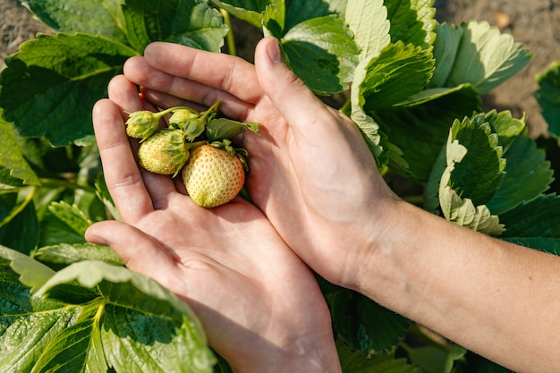 茂みから引き裂かれていない熟した熟していない緑のイチゴの束が手のひらの上にあります。
