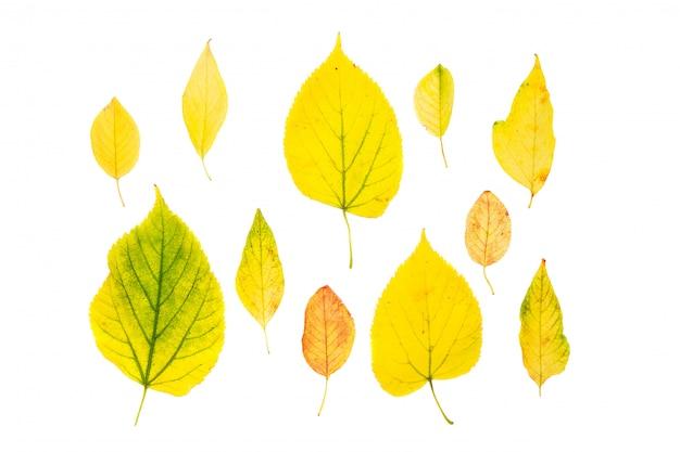白で隔離されるコレクションの美しいカラフルな紅葉